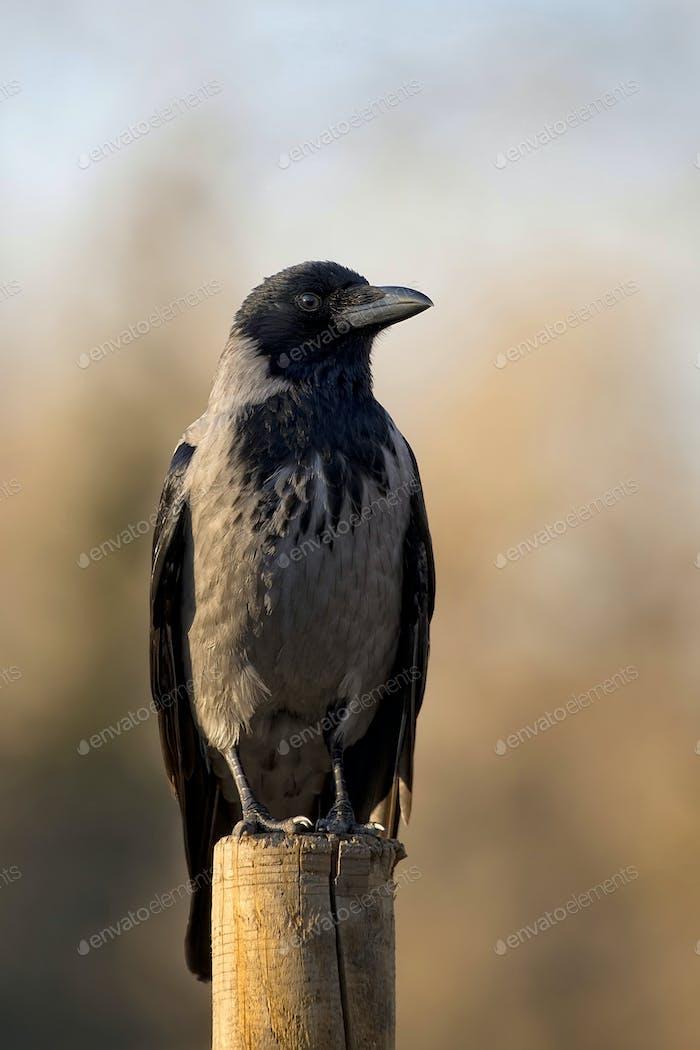 Cuervo encapuchado en la naturaleza