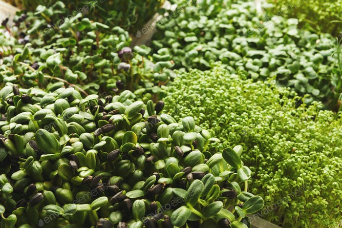Different kinds of micro greens
