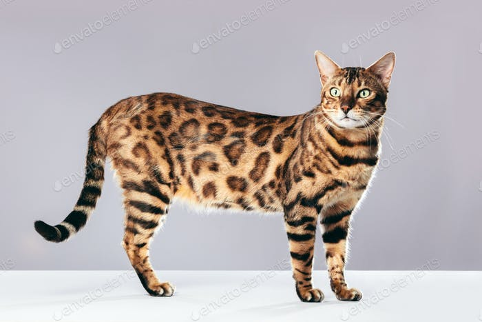 Bengal cat standing on gray background.