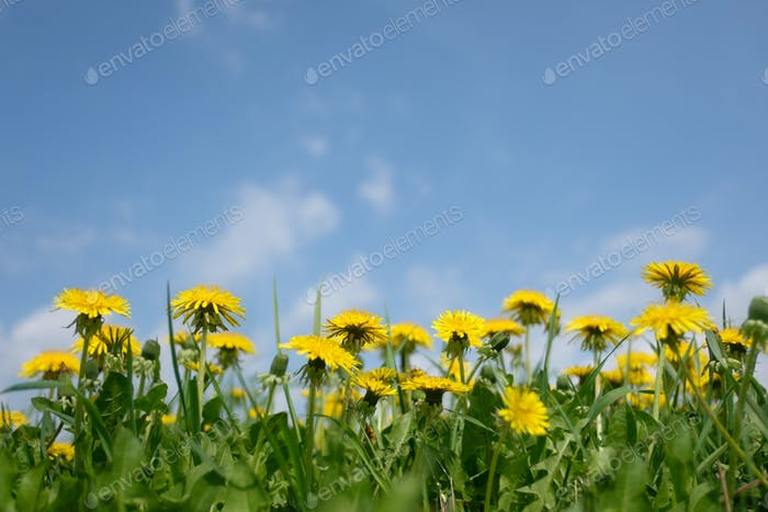 Yellow dandelions field closeup