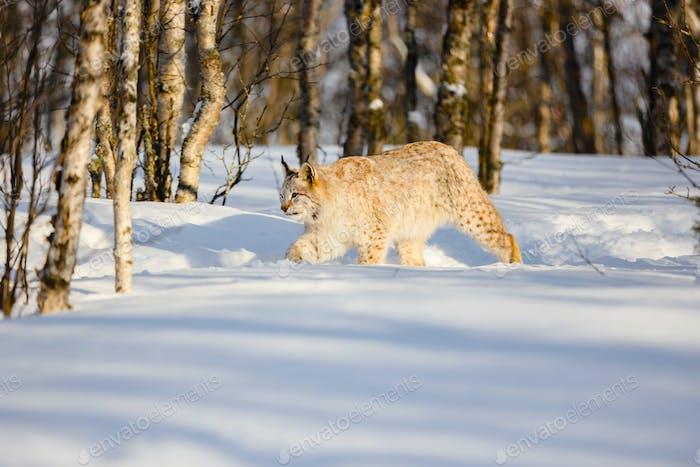 Eurasian lynx walking on snow by bare trees