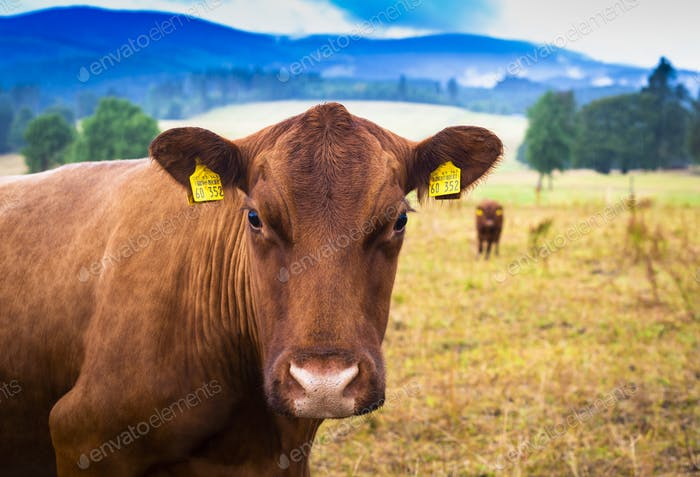 Brown cow portrait on the blue sky background