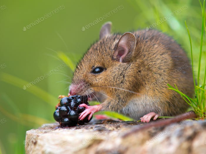 Wild mouse eating raspberry on log