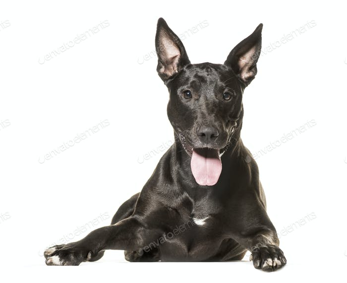 Mixed-breed dog lying and panting, cut out