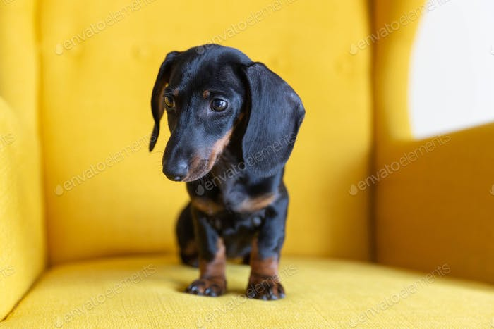 Portrait of dachshund puppy