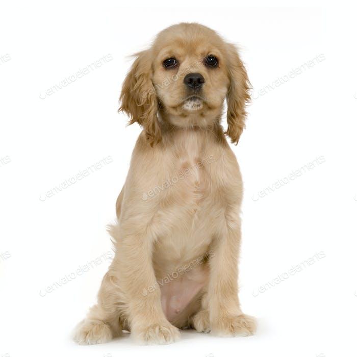 Puppy American Cocker Spaniel
