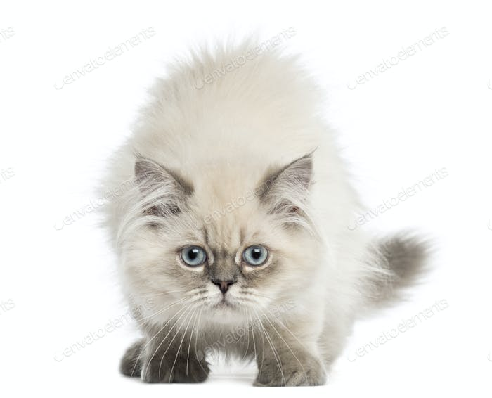 British Longhair kitten facing, looking at the camera, 5 months old, isolated on white