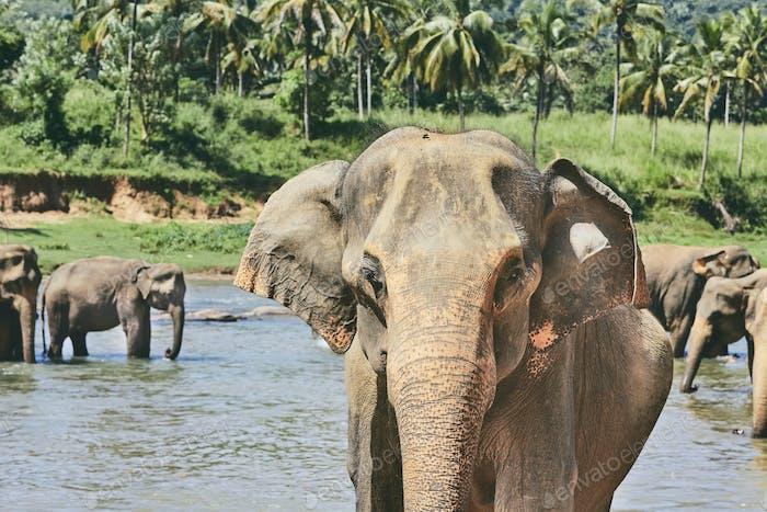 Elephants are bathing
