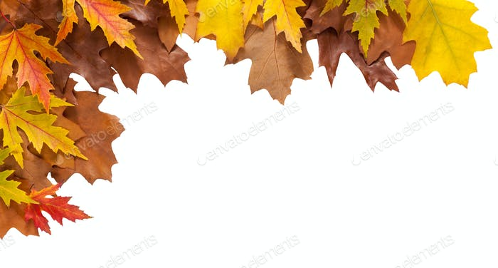 Autumn maple and oak leaves isolated on white background