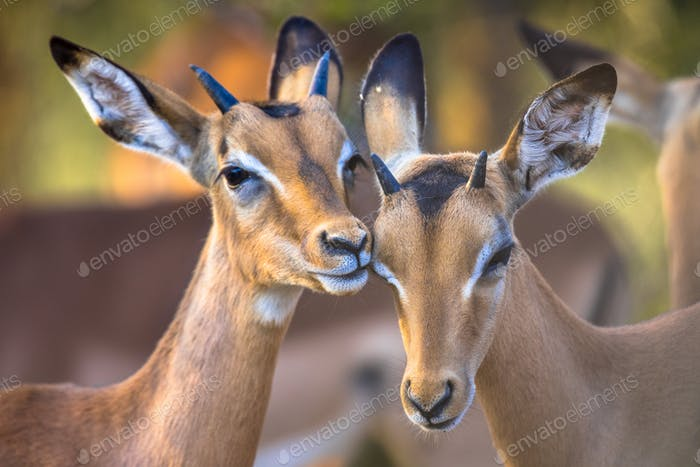 Two Impalas grooming sweetly