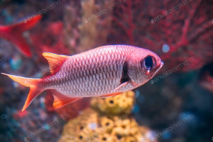 Pinecone Soldierfish Fish Myripristis Murdjan With Big Eyes Swim