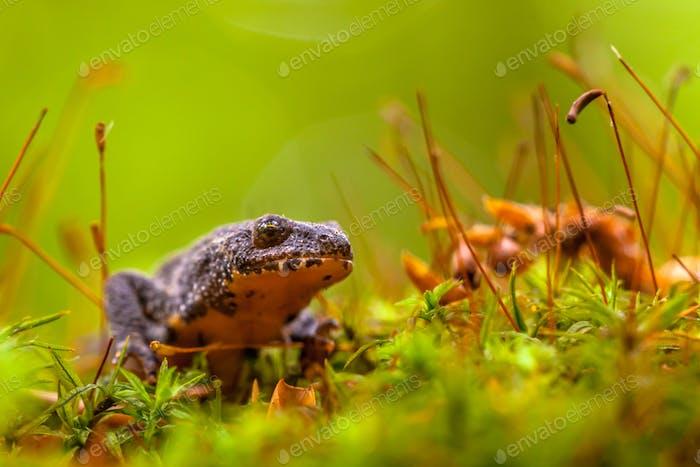 Male Alpine Newt Walking through a Field of Moss