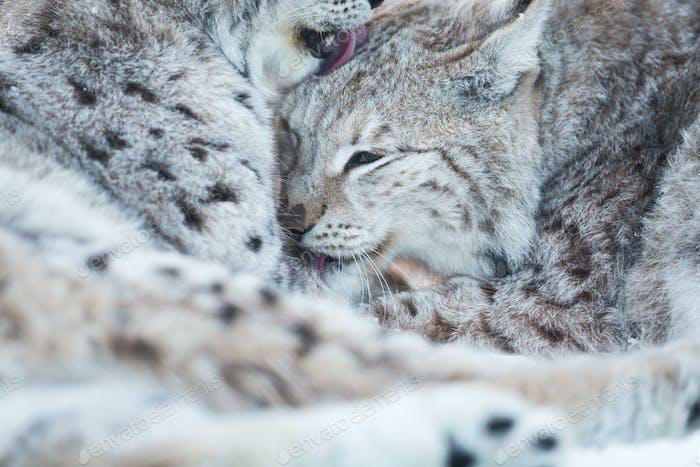 Zwei Luchs Reinigung Pelz im Schnee