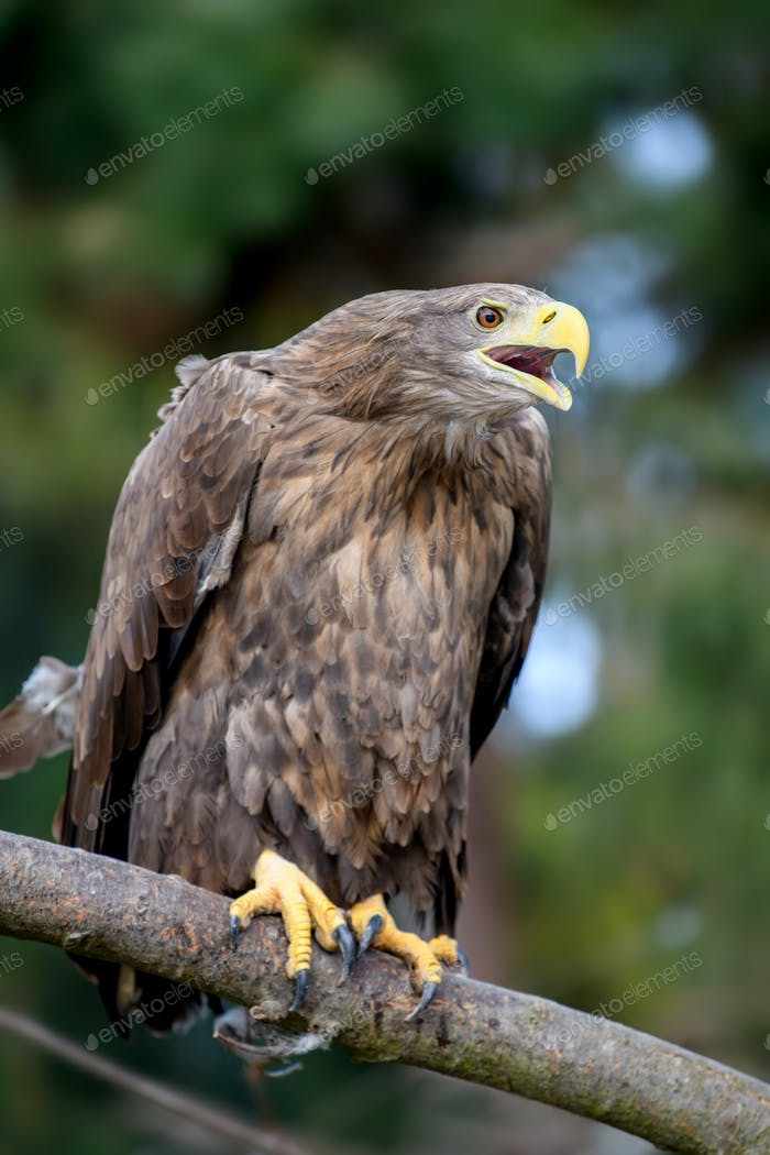 White-tailed eagle sitting on pine branch