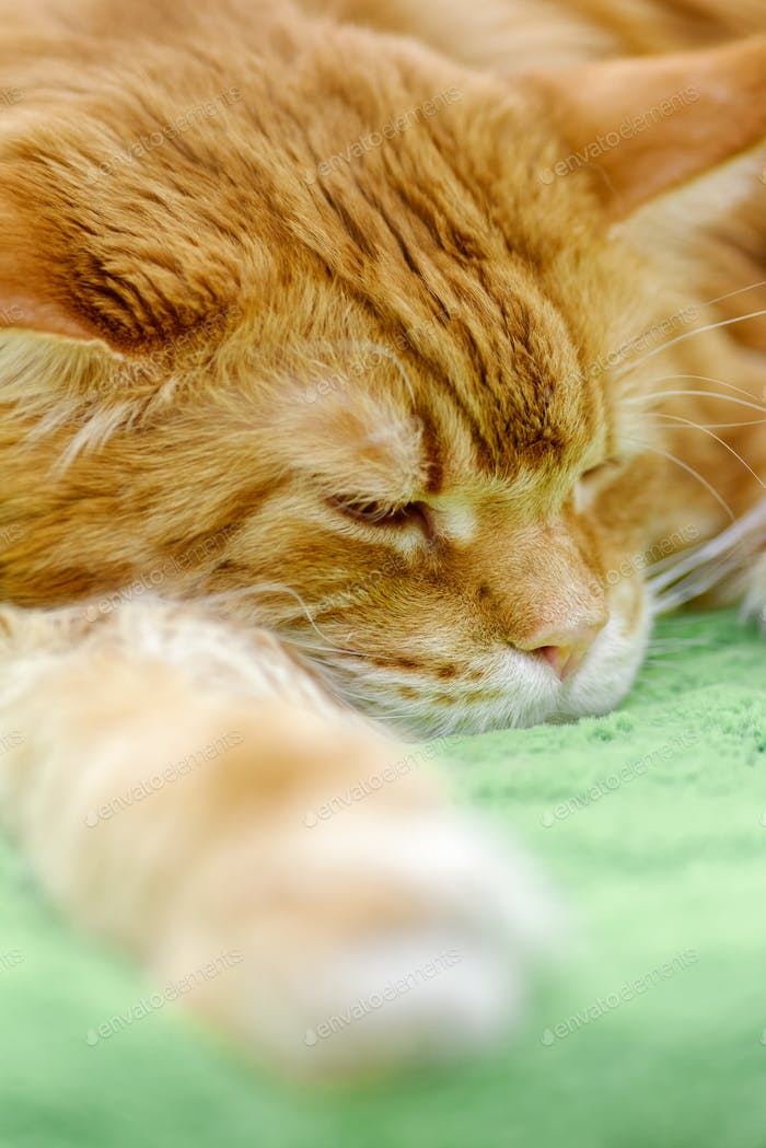 Big red Maine Coon cat