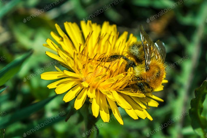 Bee get pollen from dandelion