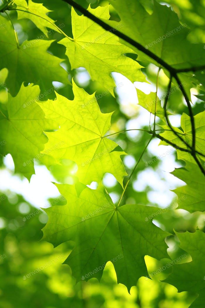 Zweig aus grünem Ahorn