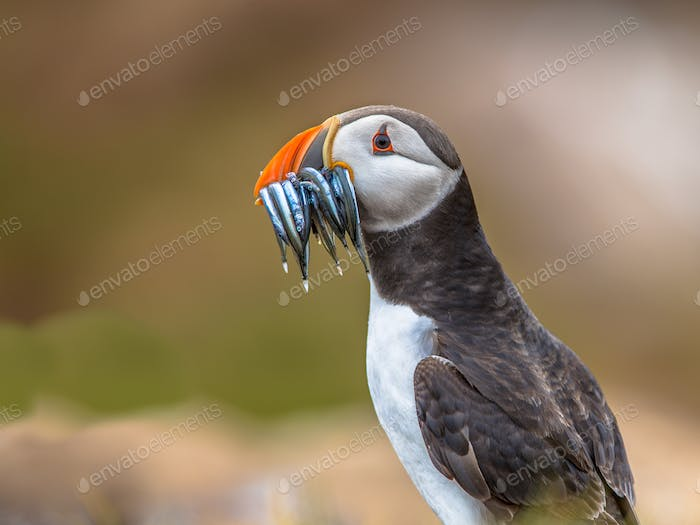 Puffin with beek full of sandeels