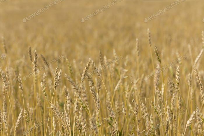 Gelbes Getreide bereit für die Ernte wächst auf einem Bauernhof Feld