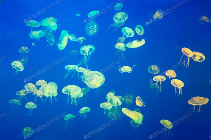 Artificially Illuminated Jellyfish