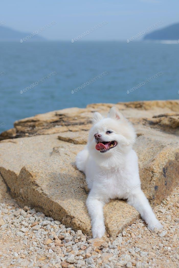 White pomeranian sit on the rock