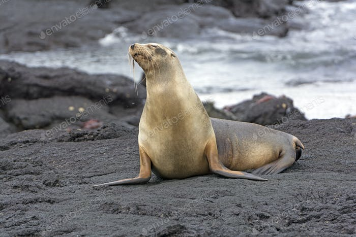 Sea Lion on a Lava field