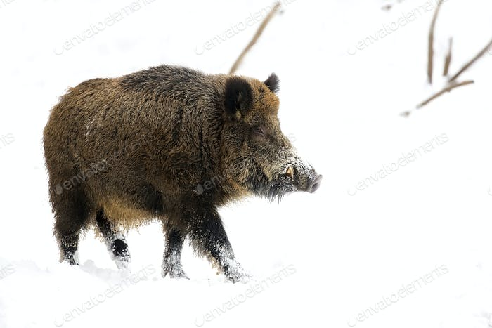 Wildschwein in der Wildbahn