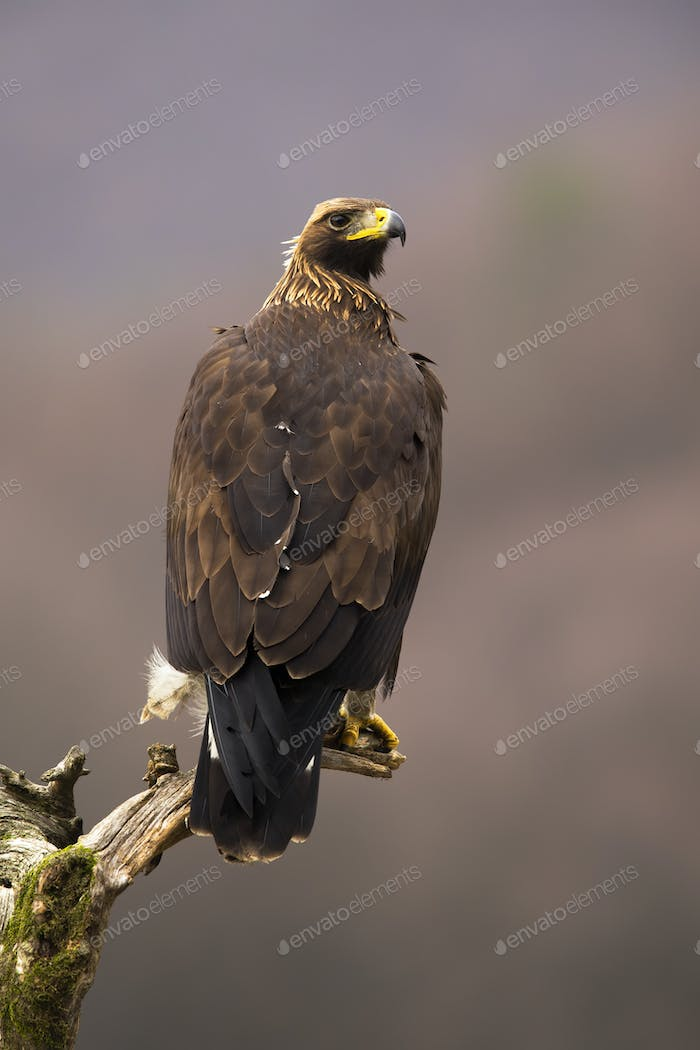 Impressive golden eagle sitting on a treetop in vertical composition from back