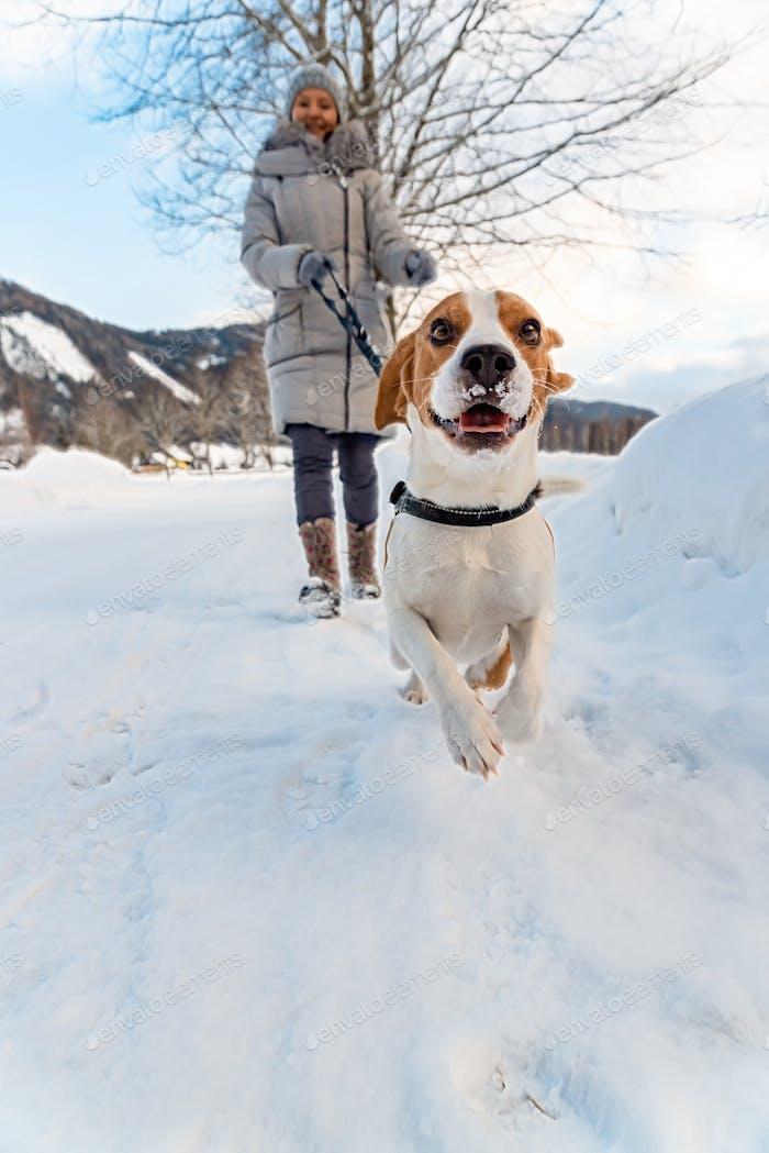 Beagle Hund zum ersten Mal auf Schnee mit Besitzer.