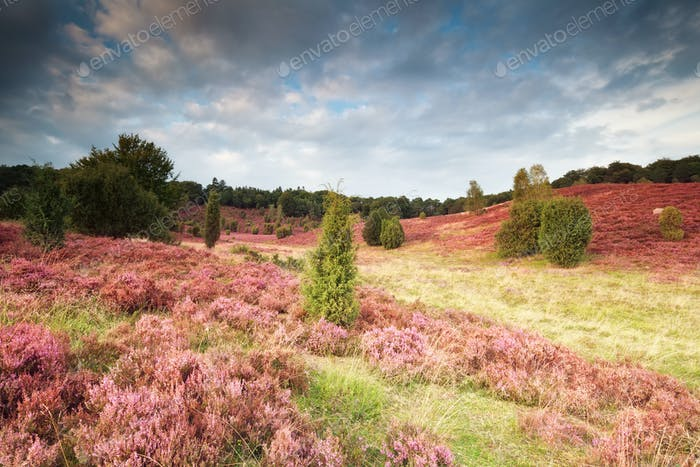 pink flowering hills with heather