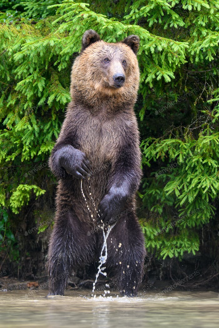 Funny wild adult Brown Bear (Ursus Arctos) standing on his hind legs in the water
