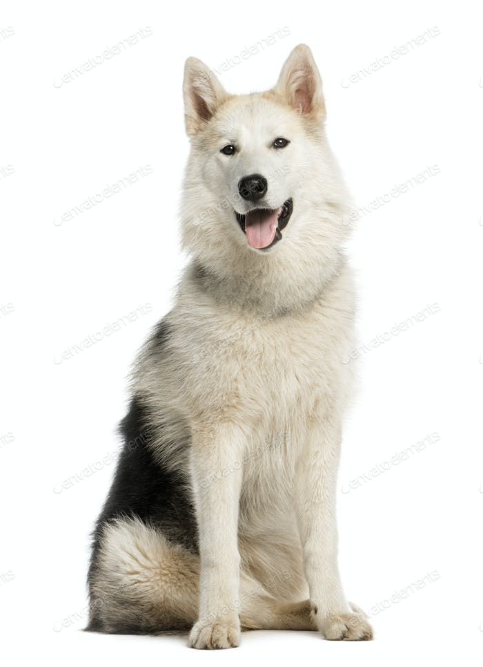 Alaskan Malamute sitting, staring and sticking his tongue out, 7 months old, isolated on white