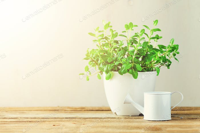Fresh melissa herb growing in pot on wooden background. Organic herbs with sunny leaks. Copy space