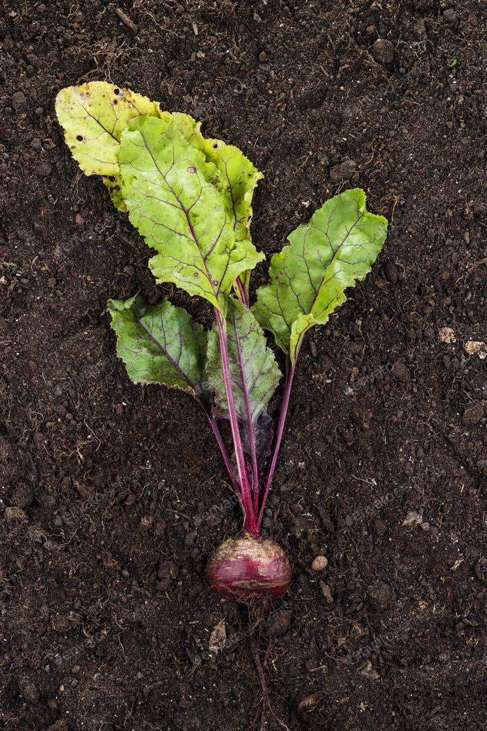 Red Beet On The Ground