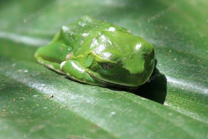 Green Tree Frog - Bigodi Wetlands - Uganda, Africa