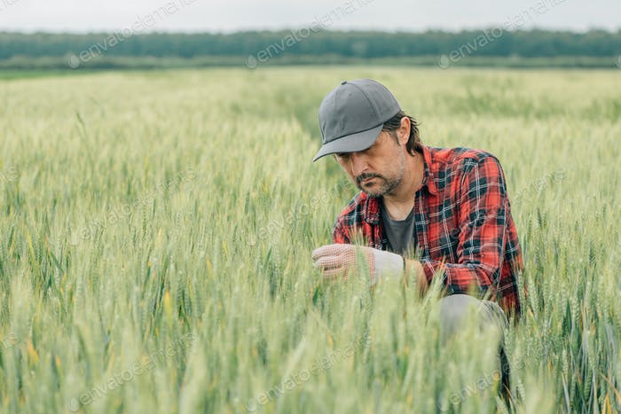 Serious wheat farmer agronomist inspecting cereal crops quality in cultivated agricultural field