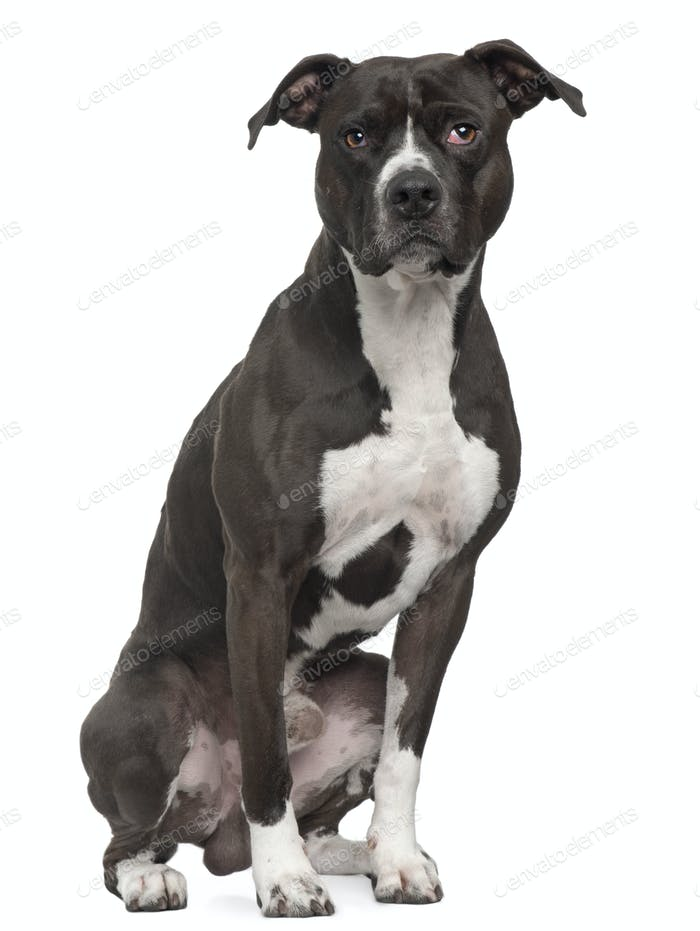 American Pit Bull Terrier, 5 years old, sitting in front of white background