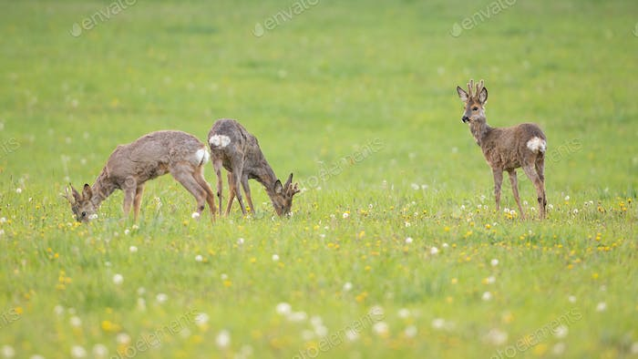 Three young roe deer bucks grazing on a fresh green meadow with grass in spring