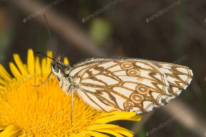 Melanargia butterfly