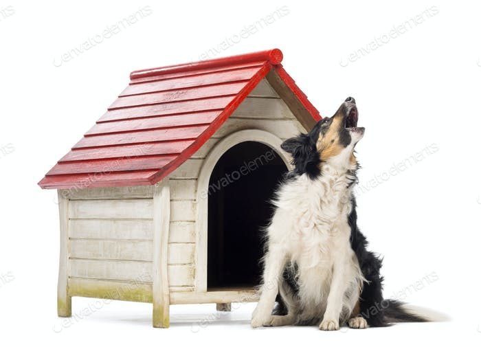 Border Collie sitting and barking next to a kennel against white background