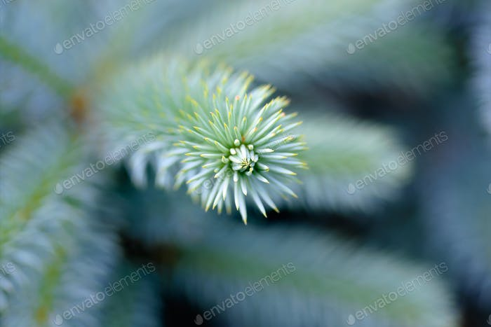 Tip of the fir tree branch