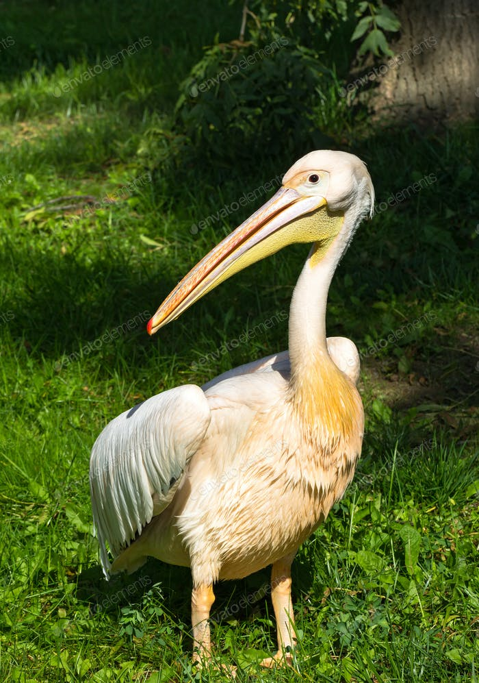 White pelican standing on grass