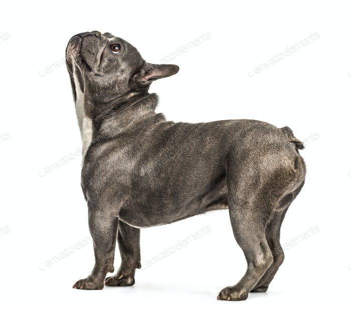 French bulldog looking up, isolated on white