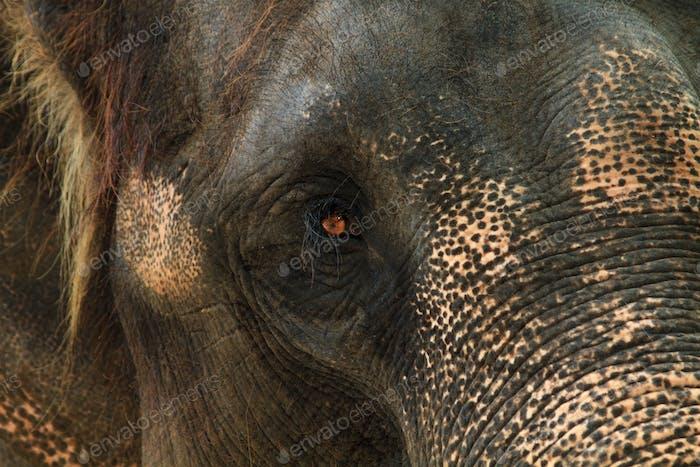 asia elephant portrait