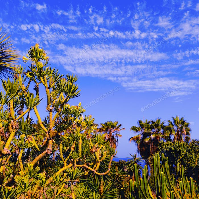 Tropical green background. Palms and cacti. Canary Islands. Tene