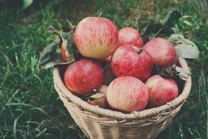 Basket with apples harvest near in garden
