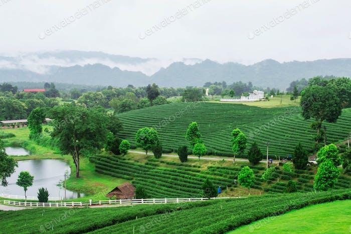 Nature on tea farm