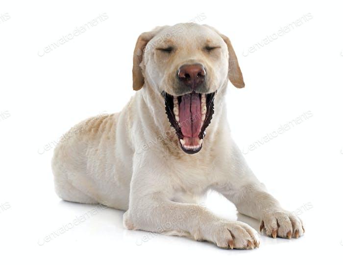 Labrador Retriever Kiefer