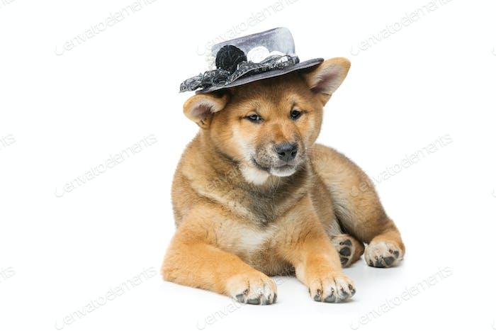 Schöner Shiba Inu Welpe in grauer Hut