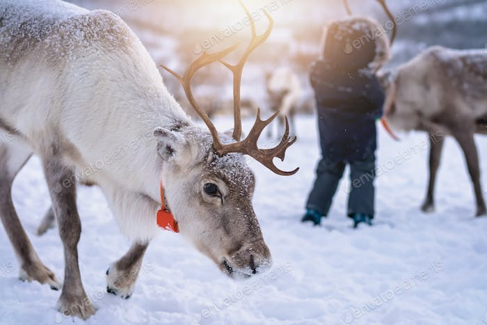Reindeer with massive antlers wandering in snow